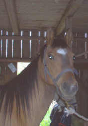 BEREKJA, born 1992, by Bogardt, out of Bint Smyrna - Pomar