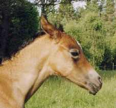 BETA (Säkerhet, Trygghet) grey mare, born 1997-07-13, by Bogardt out of Bint Smyrna by Pomar