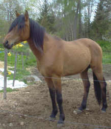 BIGETAN, born 2000, by Bogardt, out of Bint Smyrna - Pomar