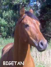 BIGETAN bay stallion born 2000 by Bogardt out of Bint Smyrna by Dardir PL